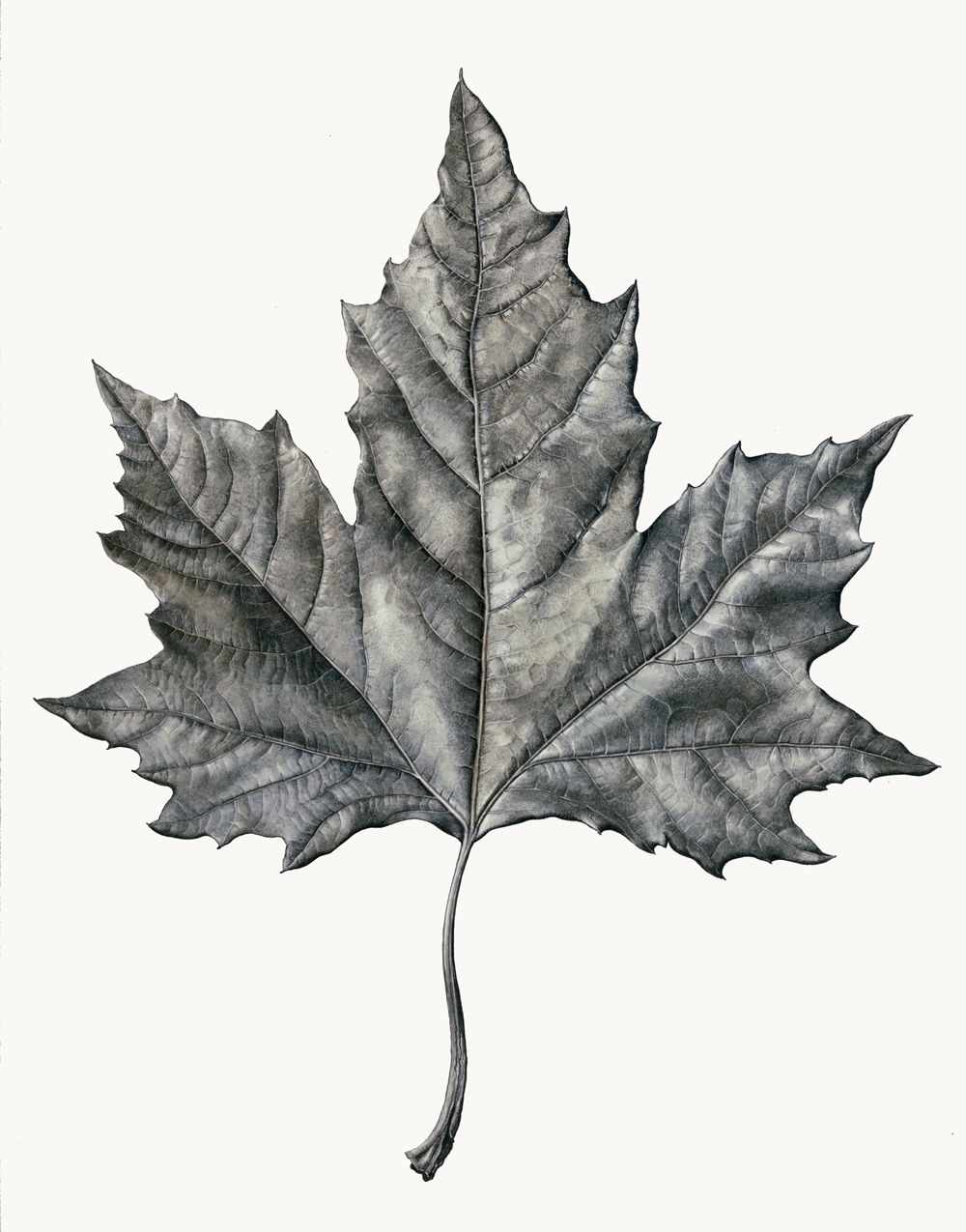 Graphite drawing of maple leaf rosie sanders more