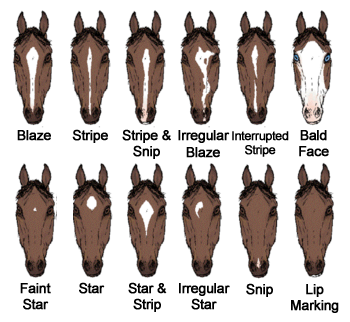 If You Want To Learn Horse Facial Markings Than Here You Go