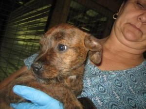Taffy is an adoptable Border Terrier Dog in Chipley, FL. Taffy is a cute pup with wirey hair and brindle (red/orange/ black coloring) coat. She is very sweet and friendly and appears to be about 8-10 ...