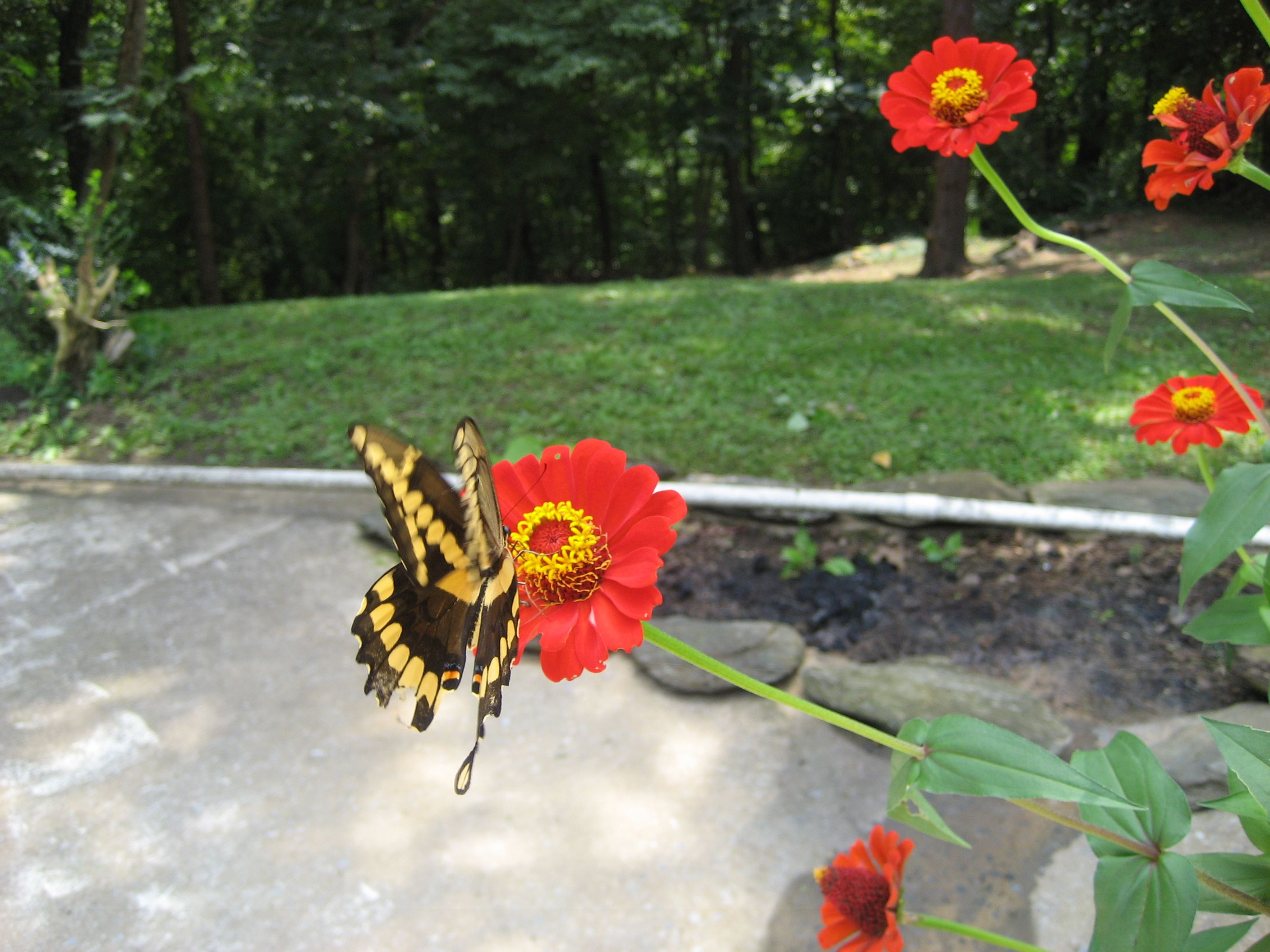 Yellow And Black Butterfly On A Red Zinnia Flowers And