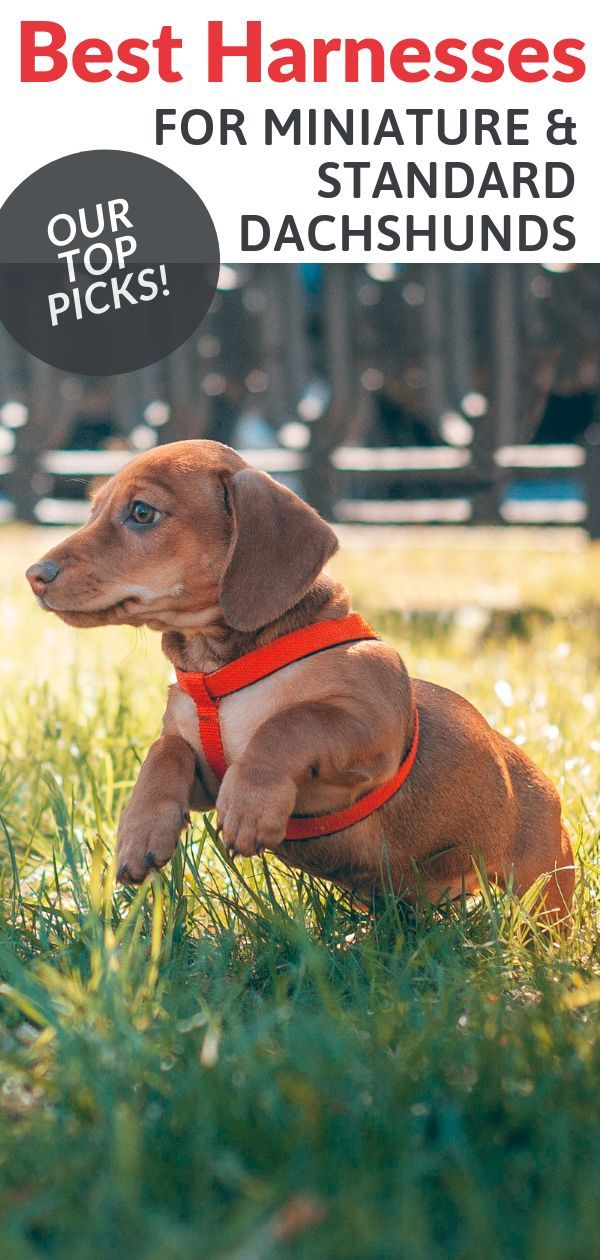Best Harnesses for Dachshunds 2020 Ratings & Reviews