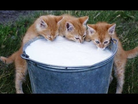 Favorite Dish Of Cat Only Milk For Milk Only They Just Get Out