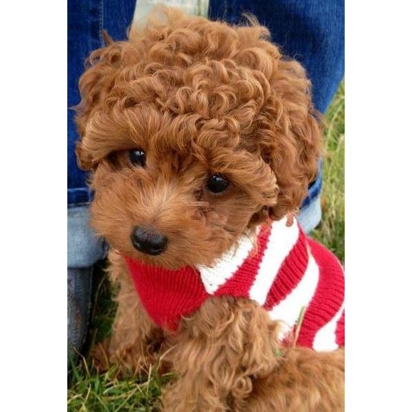 Red Curly Hair Puppy Picture Of Poodle Dog Liked On Polyvore