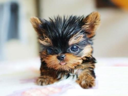 Pin By Craig Parvess On Yorkie Puppy In 2020 Puppies Cute