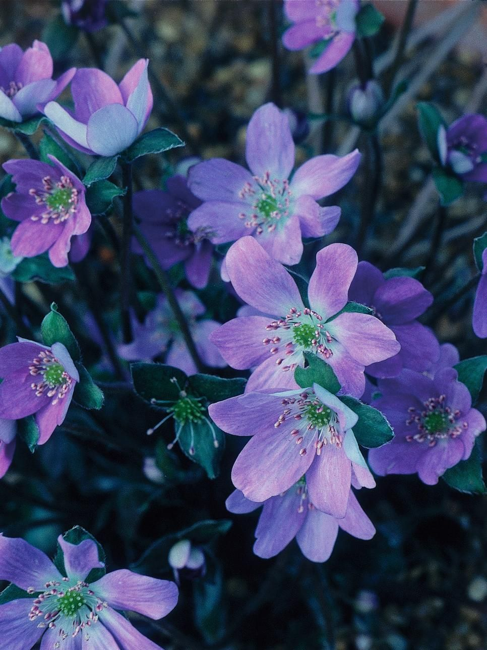 Perennial Plants For Winter Spring Perennial Flowers Floral