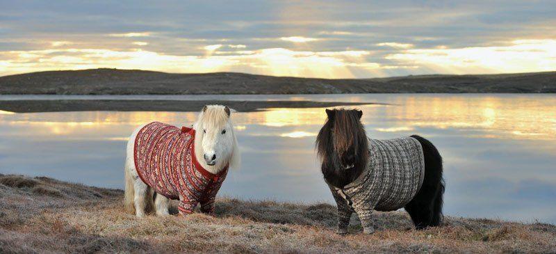 Scotland's Shetland Ponies Rug Up | Cheapflights.co.uk