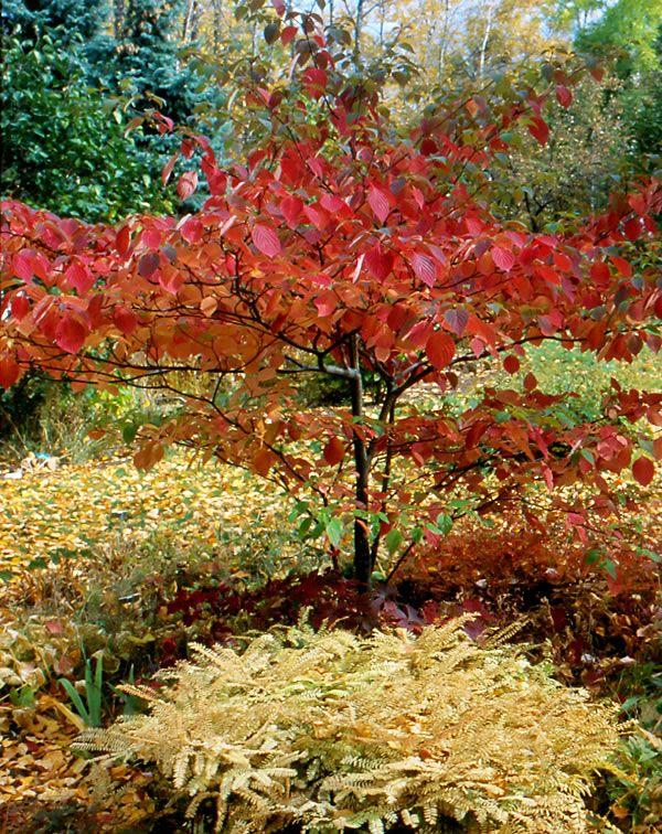Pagoda Dogwood Fall Color Pagoda Dogwood Wildflower Garden