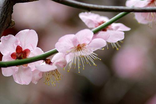 錦天満宮の梅