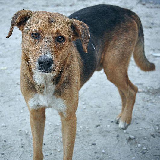 Indian Pariah Dog Dogs Animals Labrador Retriever