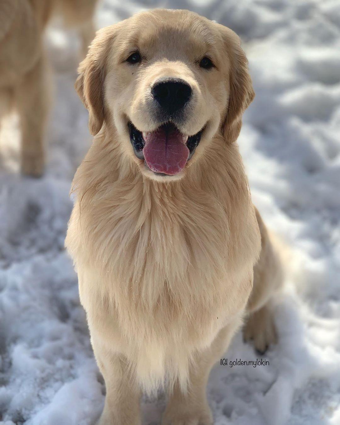 Idea By Zuzana Zajacova On Dogs In 2020 Golden Retriever How To