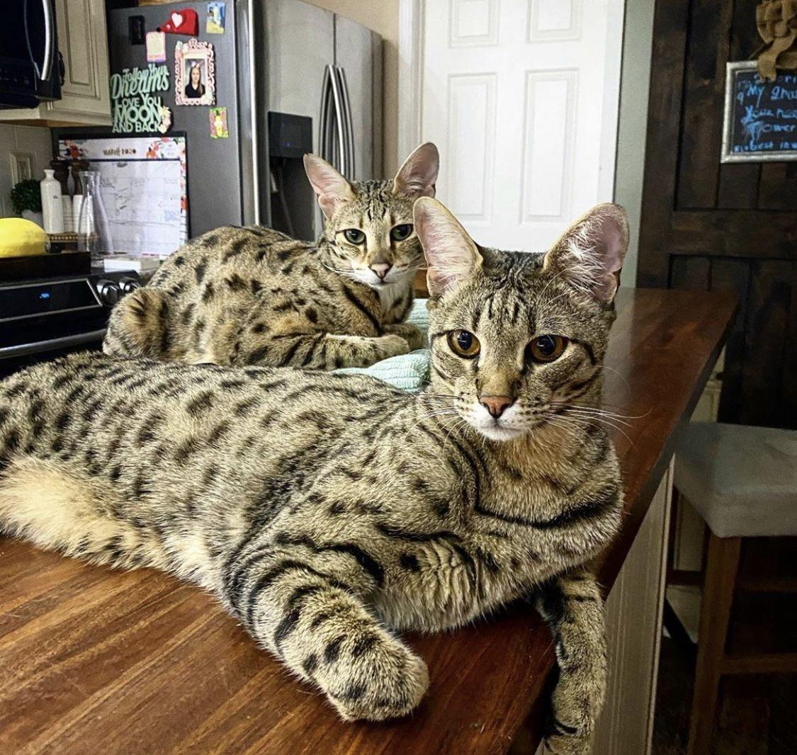 Savannah Cat Serval F1 Savannah Kitten For Sale F1 Savannah Cat