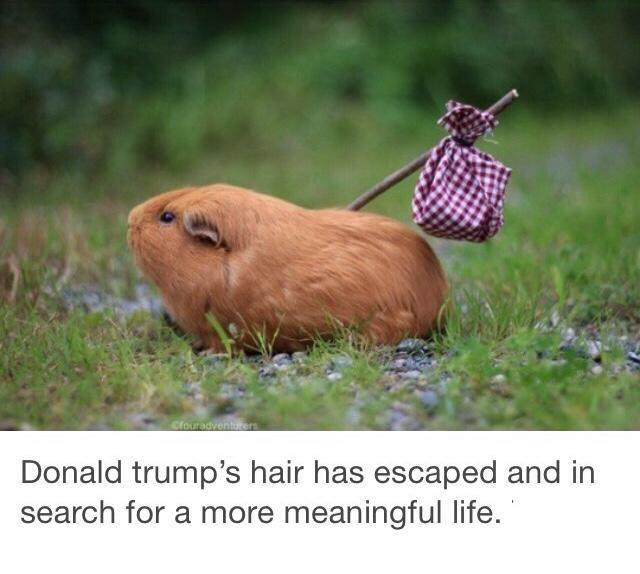 That Shouldn T Be Too Hard To Find Considering The Life It S Leaving Whyimnotvotingfortrump Funny Animal Pictures Trump Hair Funny Pictures
