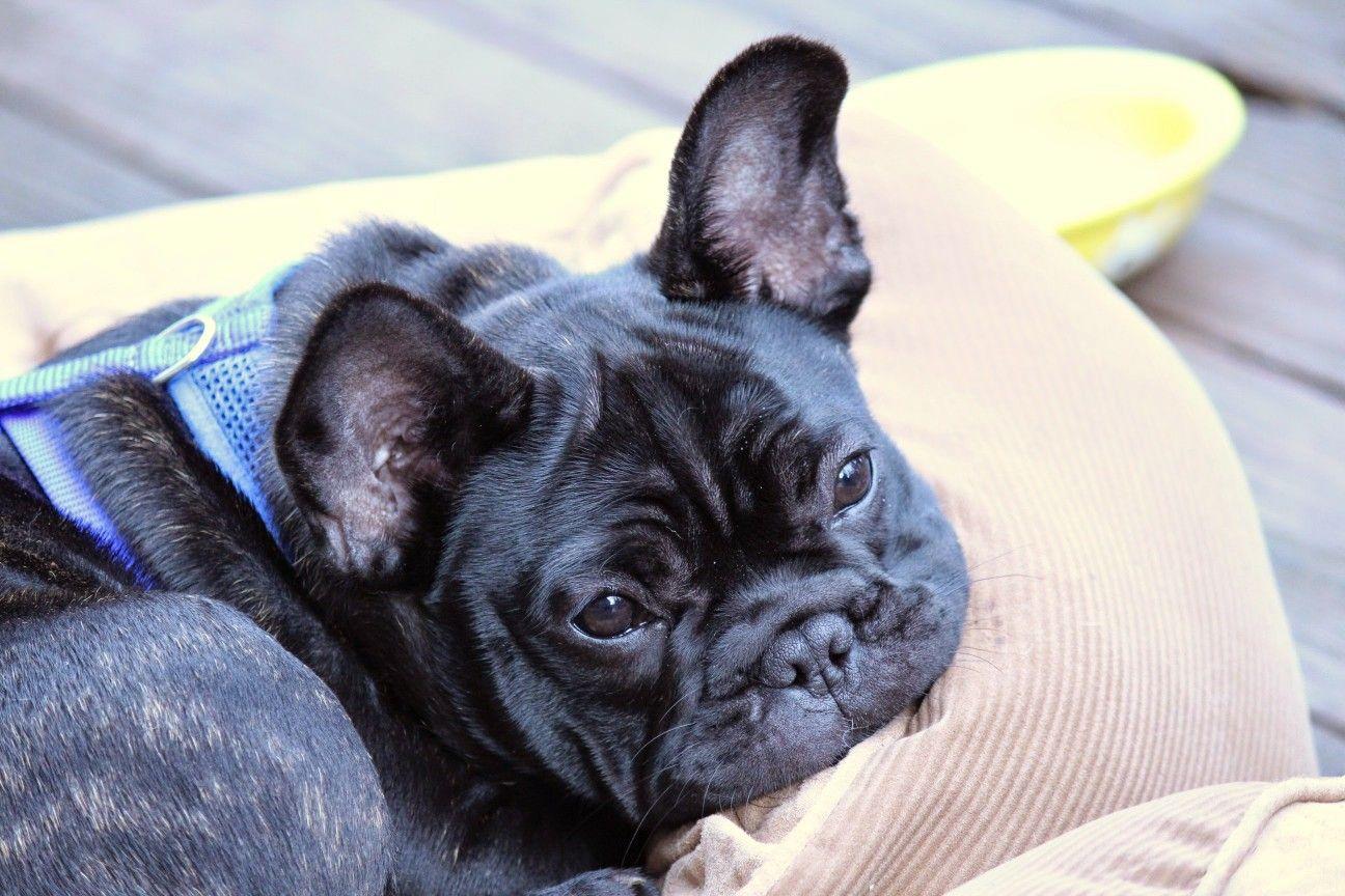 Boo French Bulldog French Bulldog Puppies French Bulldog