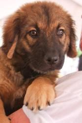 Tonka is an adopted Leonberger Dog in Washington, DC.  Cute Fluffy Puppy TONKA NEEDS A FOSTER!!!! If you are viewing Tonka 's bio on petfinder, please click below for more information! Name: Tonka ...