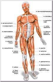 Myology is the study of the muscular system, including the ...