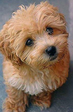 Puppies Cavapoo