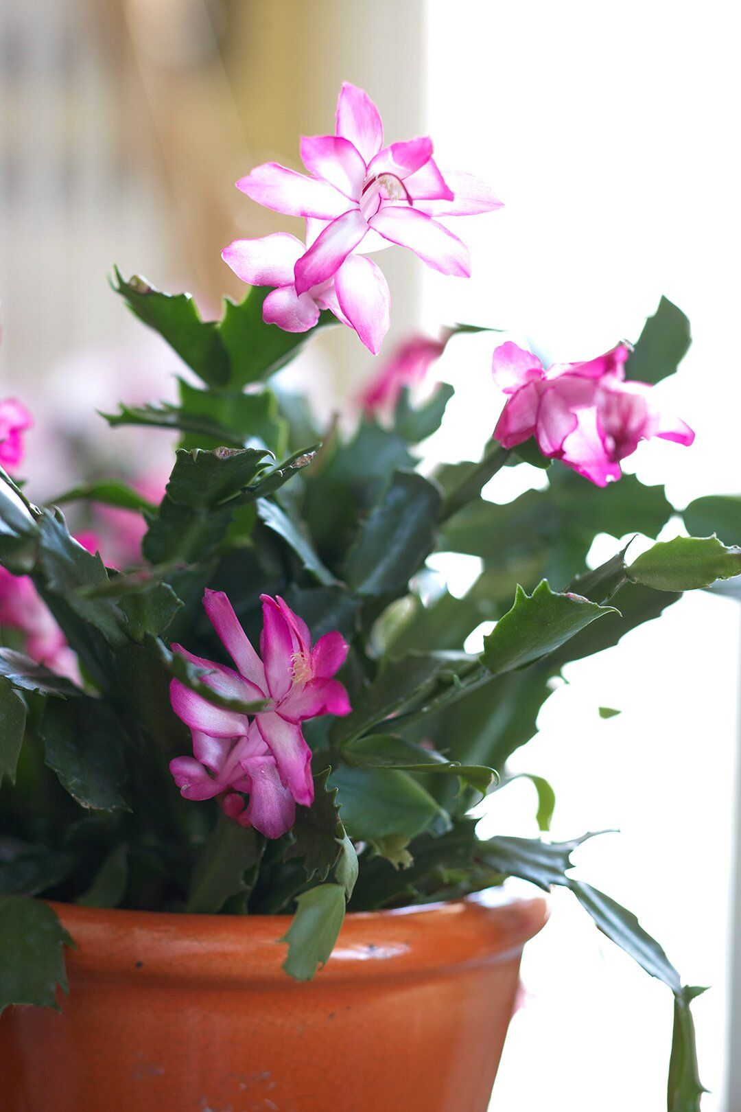 lavender Christmas cactus in 2020 Planting succulents