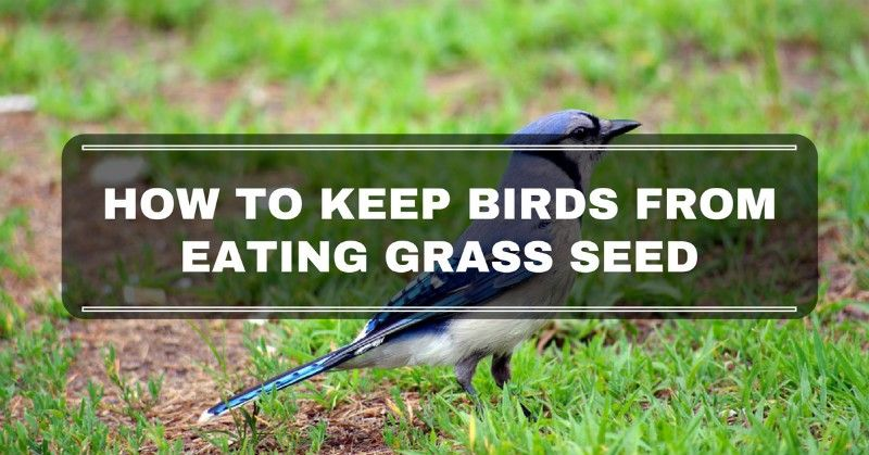 How To Keep Birds From Eating Grass Seed Grass Seed Planting Grass Grass