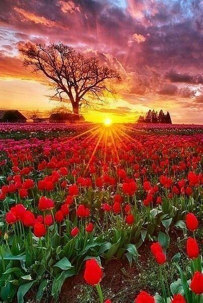 Изображение «тюльпаны» от пользователя natalia ...