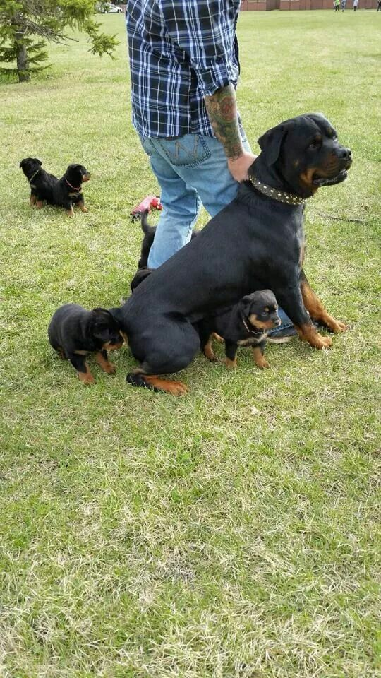 Rottweiler With Puppies Rottweiler Puppies Rottweiler Dogs