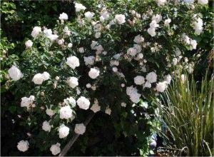 White Garden Rose Bush white rose bush | garden of goth | pinterest | gardens, white