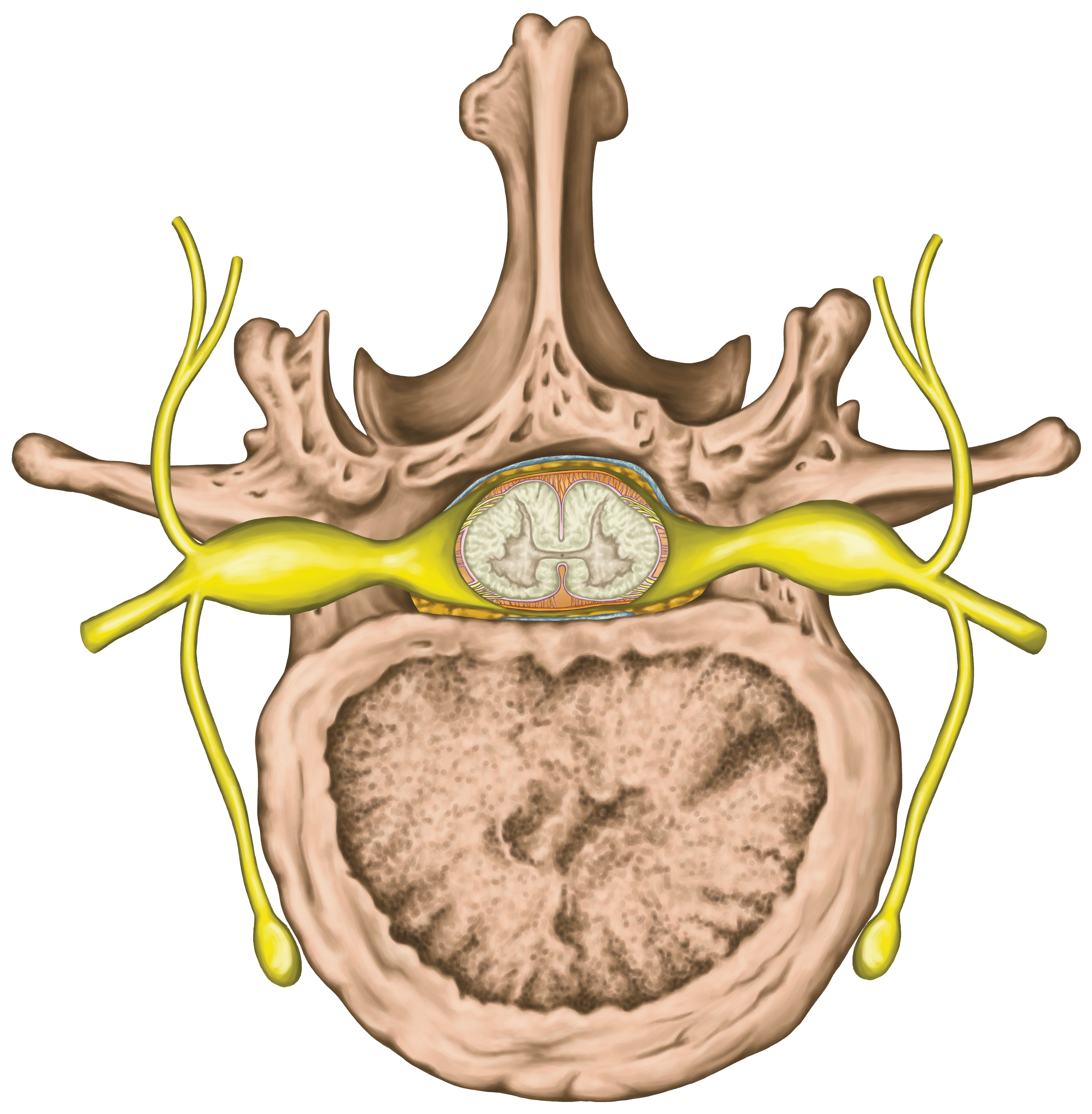 Read about how satellite cells in dorsal root ganglia are affected ...