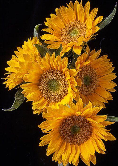 Dark Sunflower Sunflower Plants Dark