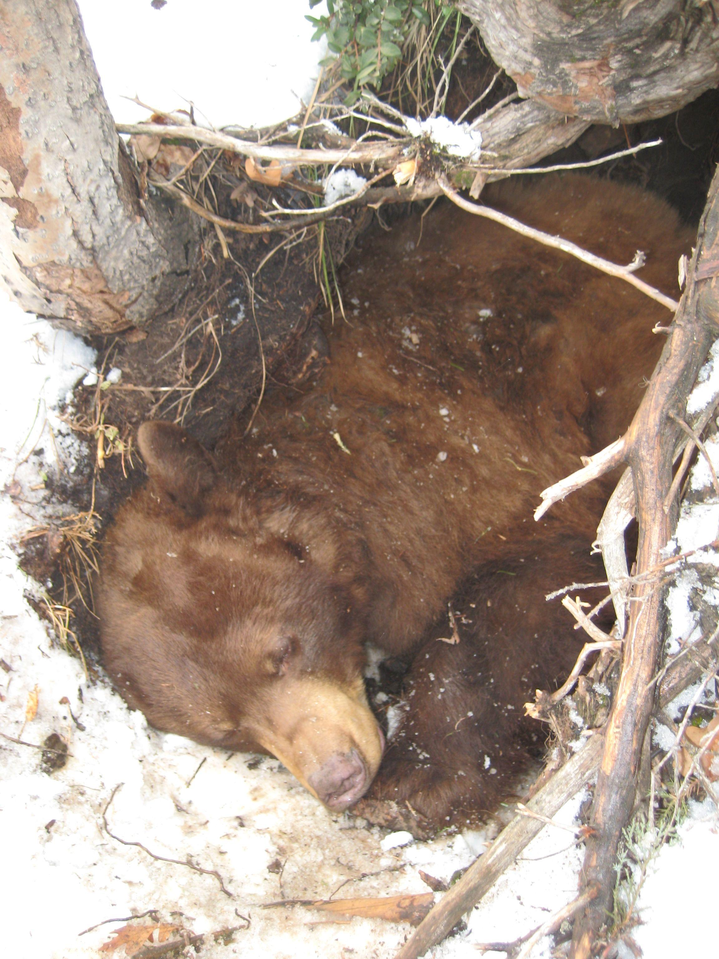 Do Bears Hibernate Bear, Social media planning, Winter