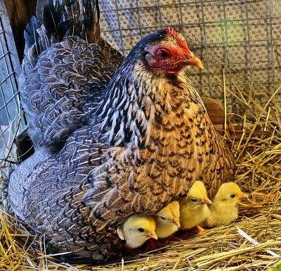 carnet rose chez les poules