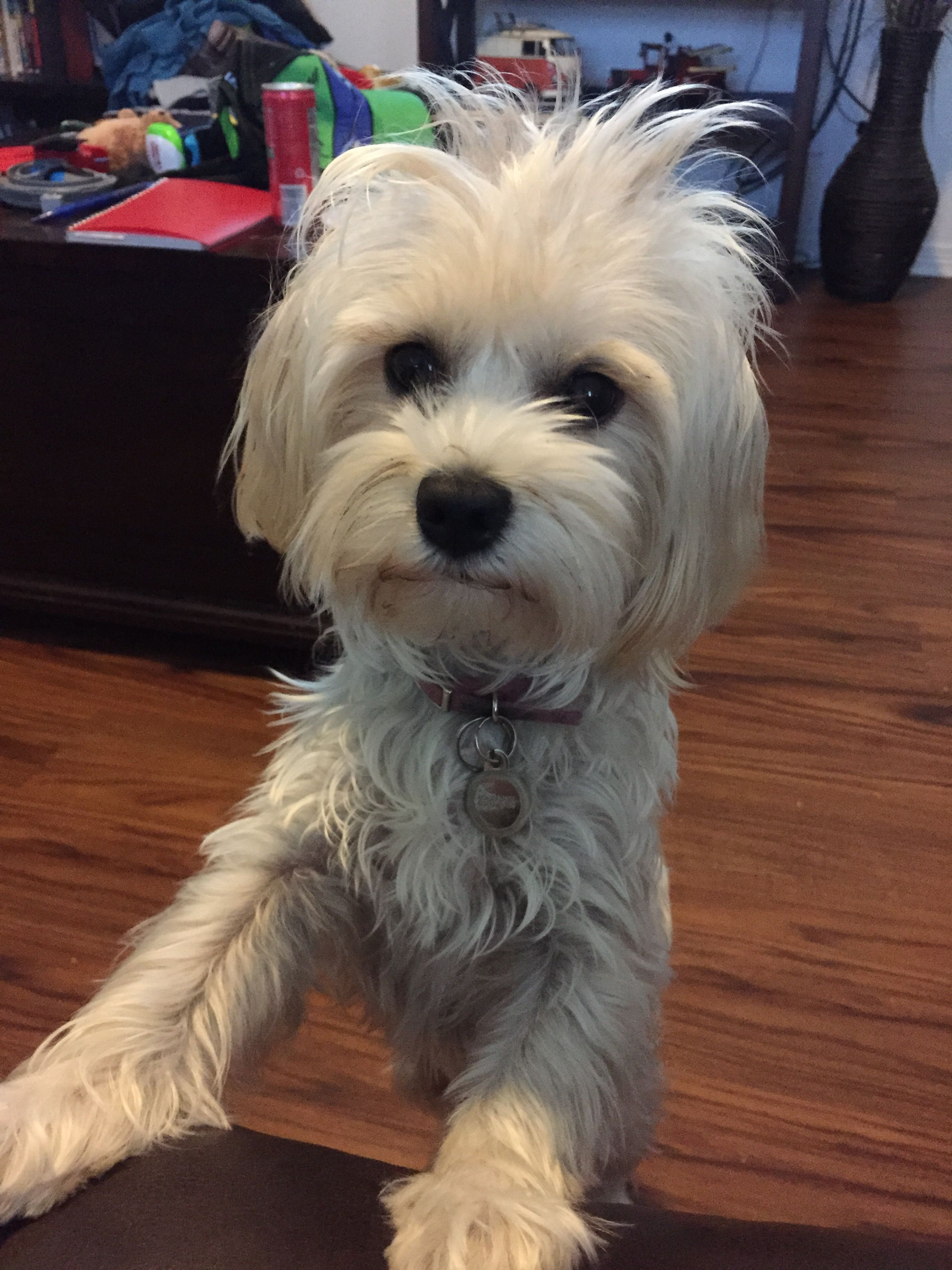 Gracie the Morkie Dogs, Animals