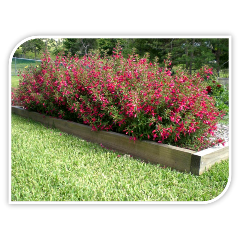 140mm fuchsia electric lights in 3825641 bunnings warehouse find fuchsia electric lights fuchsia hybrid electric lights at bunnings warehouse visit your local store for the widest range of garden products mozeypictures Images