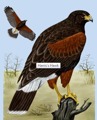 she said...The Harris Hawk spent many hours happily hunting in our wash in Tucson Arizona. A majestic creature.