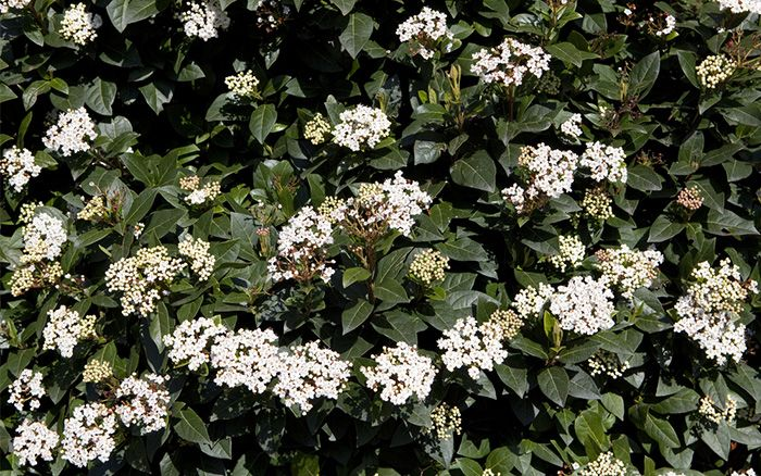 The 21 best plants and flowers for winter garden colour flowers viburnum tinus flowers in winter december mightylinksfo Choice Image
