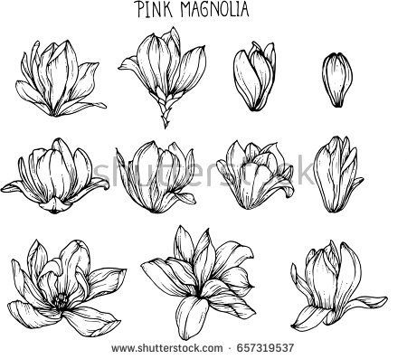 Pink Magnolia Flowers Drawing And Sketch With Line Art On White