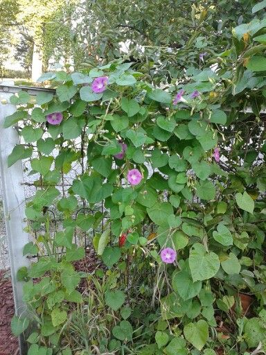 Morning Glory gate at home