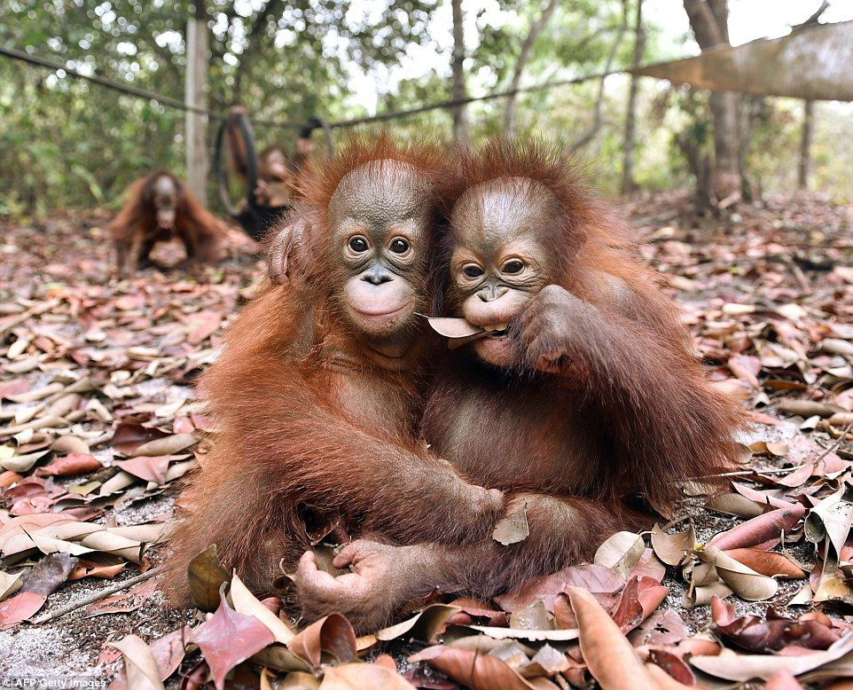 baby orangutans cuddle after escaping from indonesian