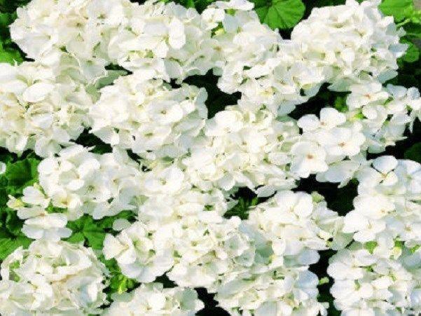 15 Film Coated Multi Bloom White Geranium Seeds #geraniumseeds