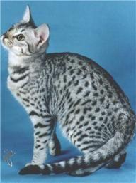 I Want An Ocicat Someday Abyssinian Cats Cat Furry Beautiful Cats