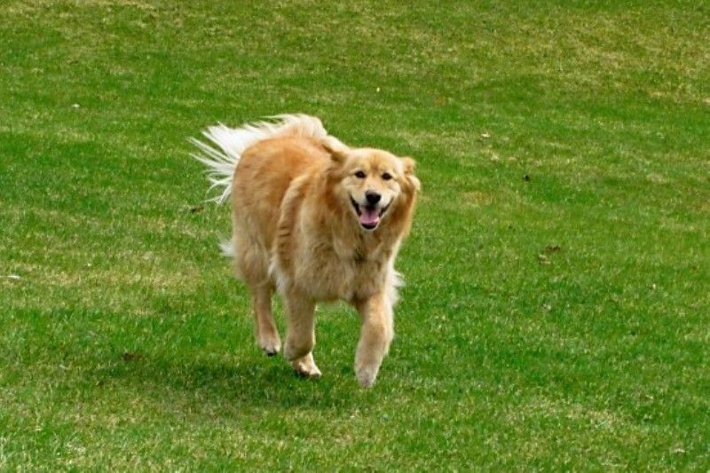 Goberian Toby Is My Parent S Siberian Husky Golden Retriever Mix One Of The Best Dogs Ever