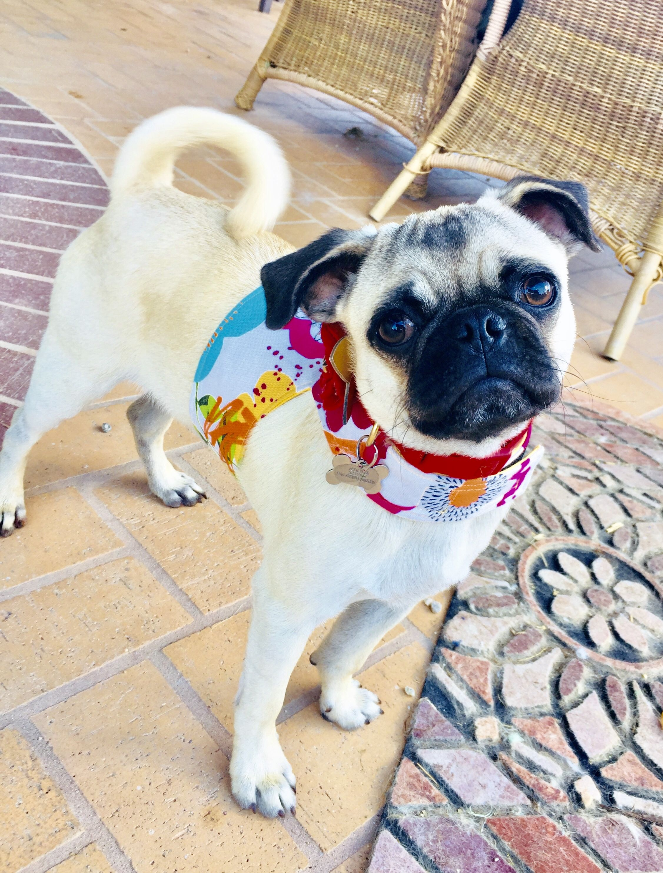 Love this summer floral On her! Pet harness, Pet owners