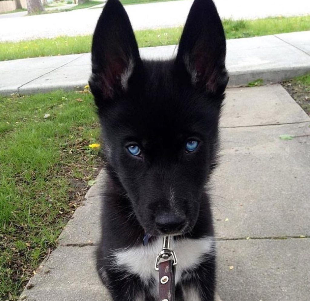 Solid Black Siberian Husky With Blue Eyes Purebred black ...