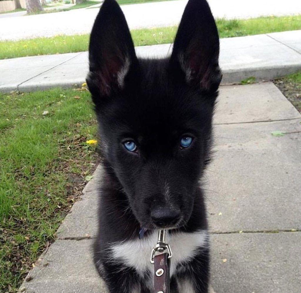Purebred black husky! | Dog, Animal and Black