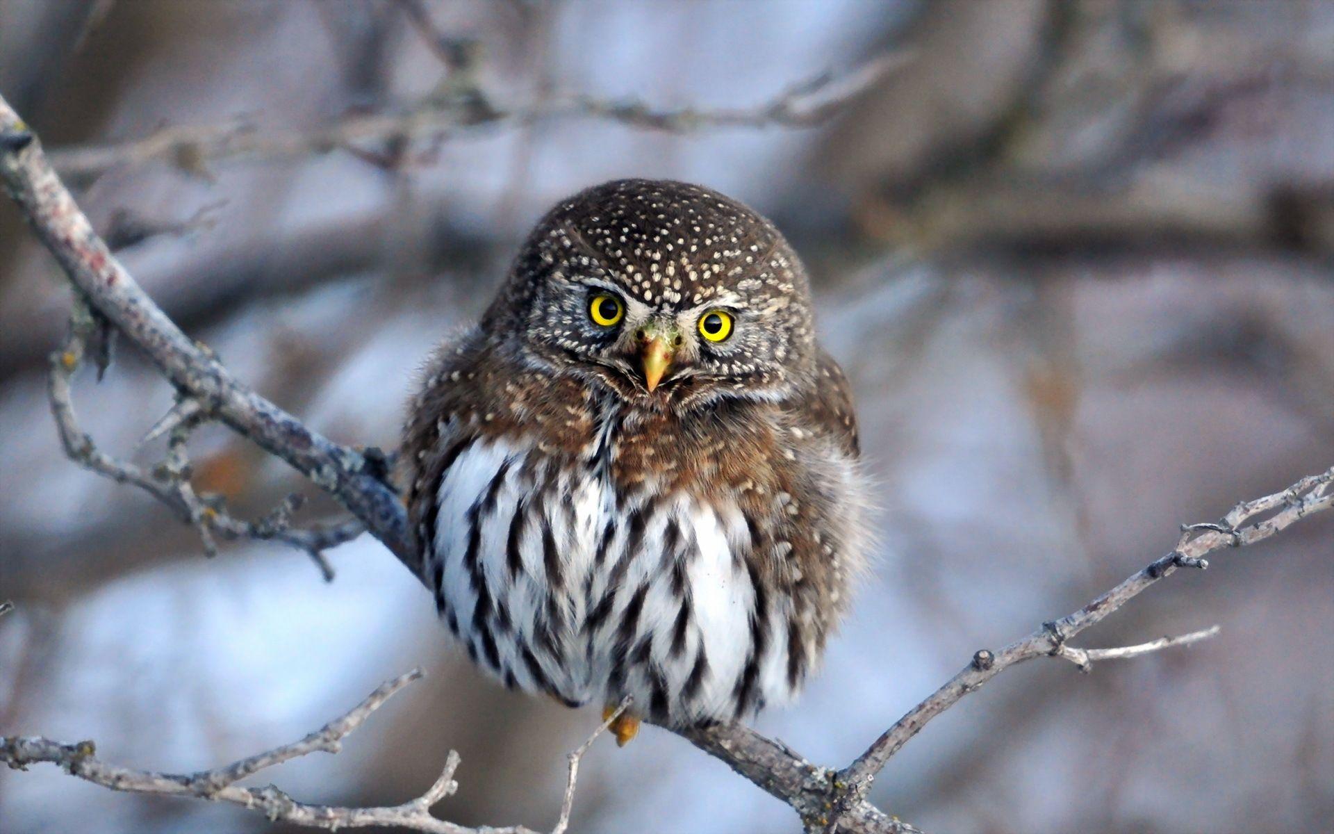 Papel de Parede Pequena Coruja - Owl, Bird, Little, Nature, Branch, Coruja, Tree, Winter, Cute, Yellow Eye