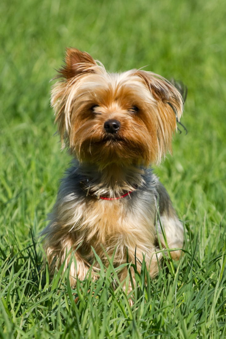 Yorkshire Terrier Dog On The Green Grass Yorkshireterrier Yorkshire Terrier Dog Yorkshire Terrier Dog Urine