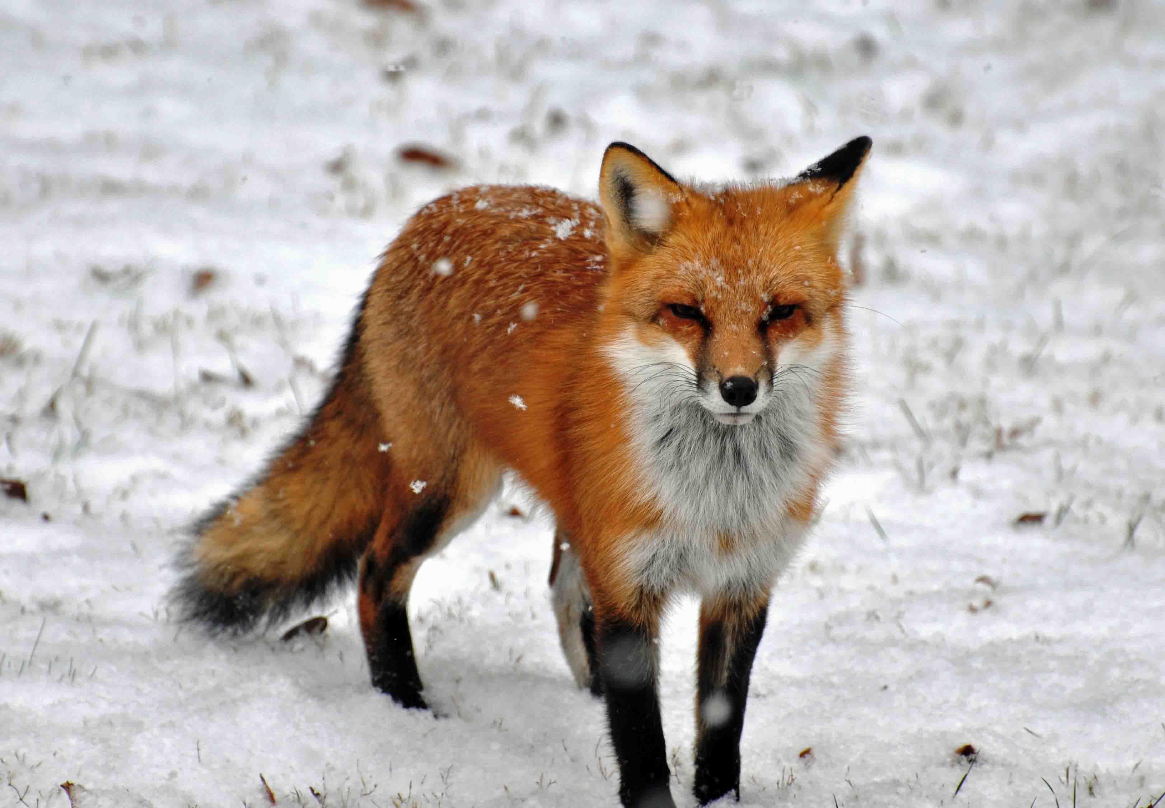 Картинки дикие животные лиса