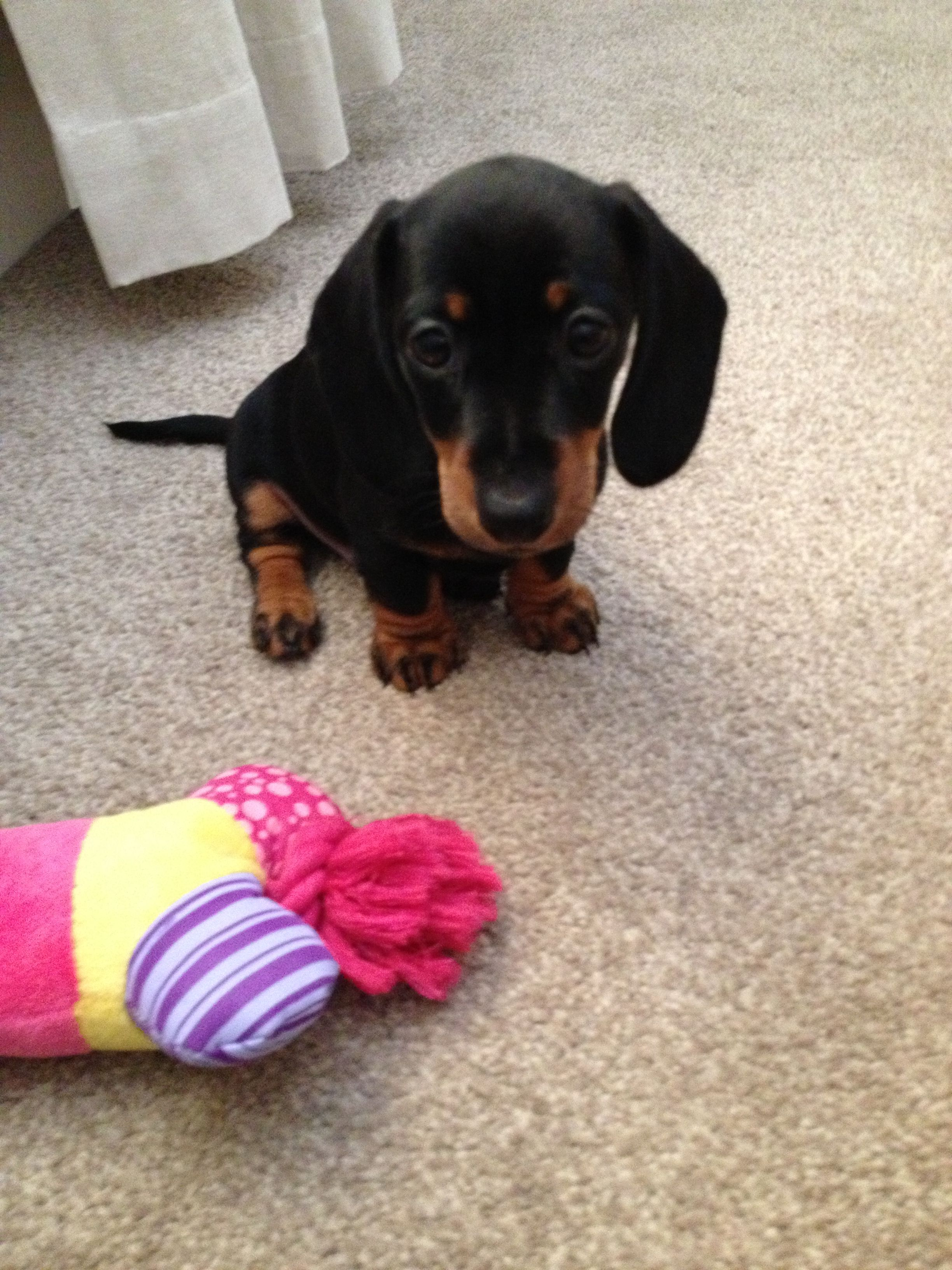 Our 8 Week Old Dachshund Puppy Hank Not Mine But How Adorable