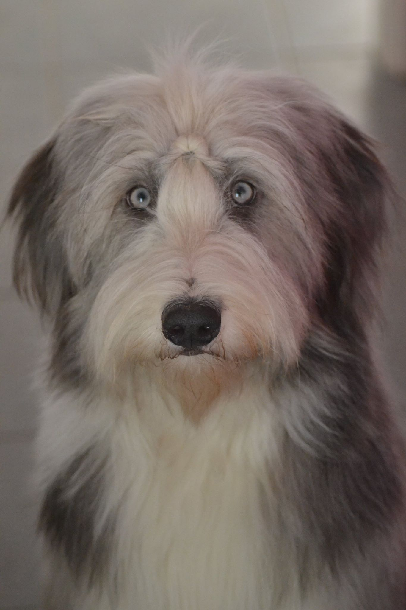 Love this boy!!! Bearded collie, Dog breath, Beautiful dogs