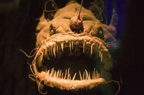 "the Well-Known Angler Fish of the ocean deep: have a fleshy growth that extends from its head (and some glow too) to lure its prey near that nasty mouth; usually about 12"" long but can get to 3' long and weigh up to 110 pounds! Can open its jaw wide enough to swallow prey twice its size WHOLE!"