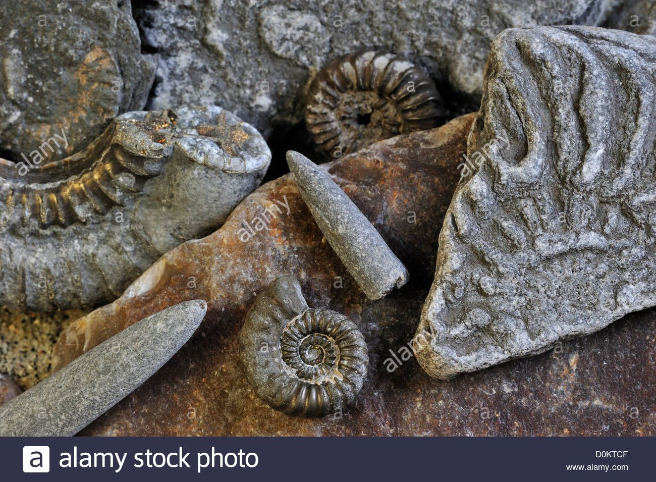 Fossils Like Fossil Guards Of Belemnites And Ammonites On