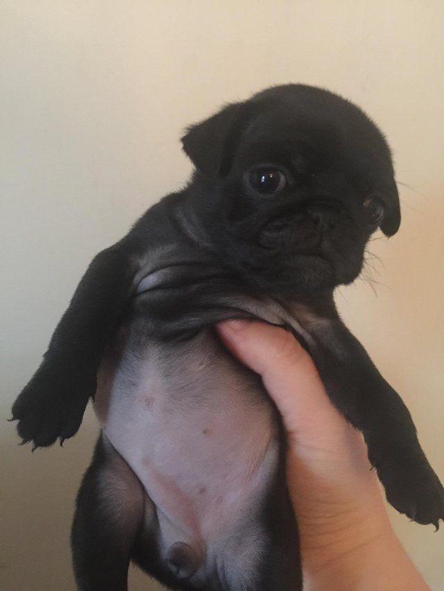 Female Pug Puppy For Sale In North Devon Devon Puppies Pug